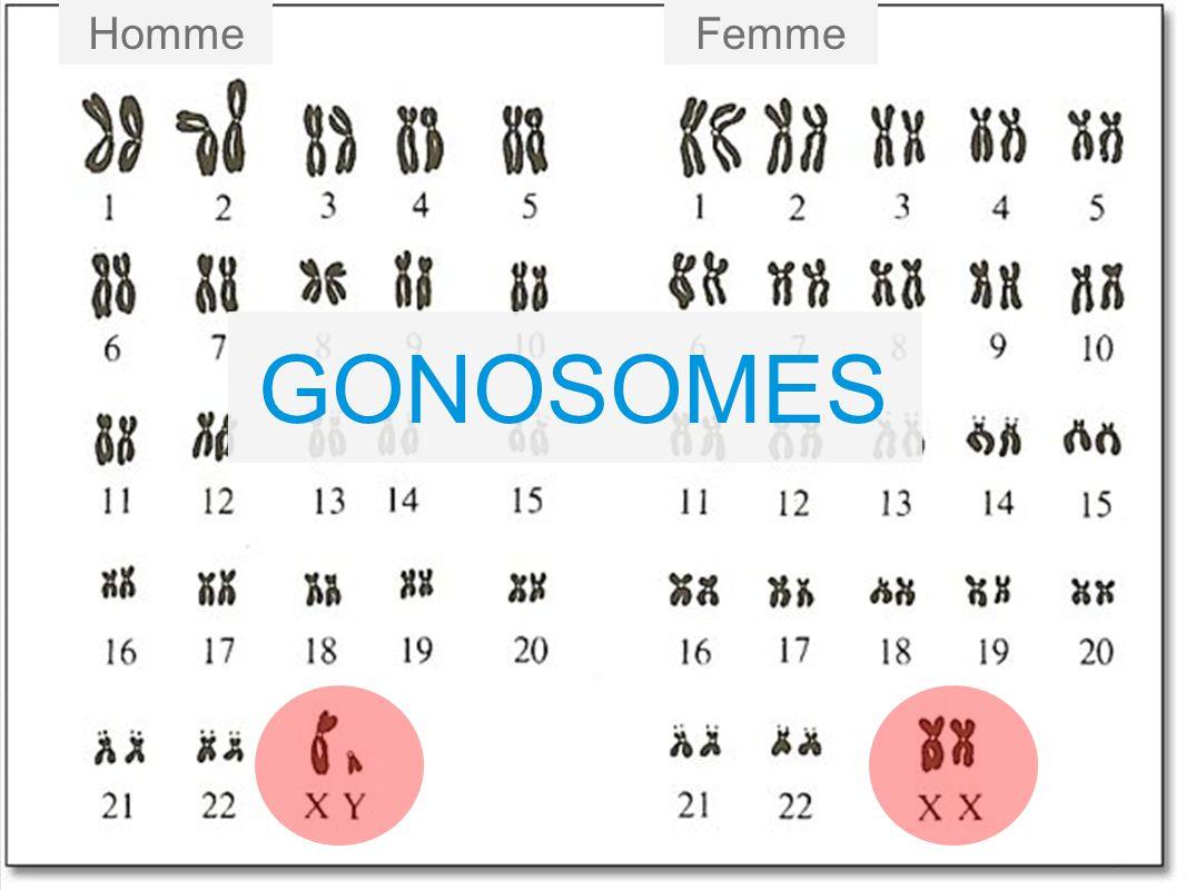 Homme Femme GONOSOMES