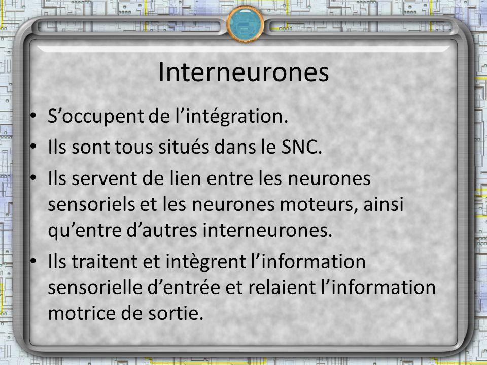 Interneurones S'occupent de l'intégration.