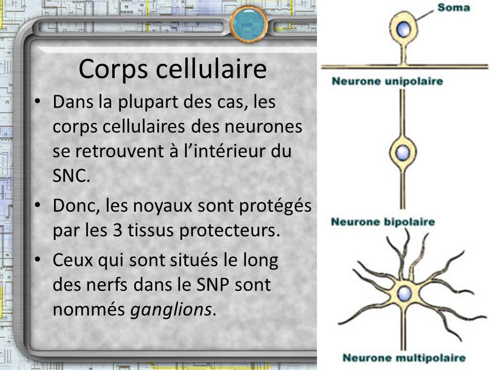 Corps cellulaire Dans la plupart des cas, les corps cellulaires des neurones se retrouvent à l'intérieur du SNC.