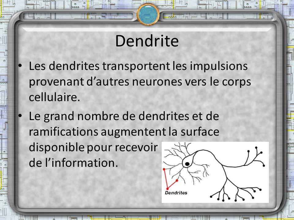 Dendrite Les dendrites transportent les impulsions provenant d'autres neurones vers le corps cellulaire.