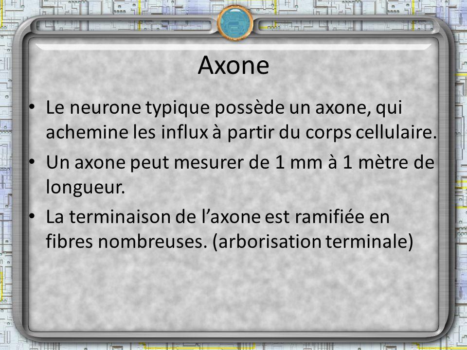 Axone Le neurone typique possède un axone, qui achemine les influx à partir du corps cellulaire.