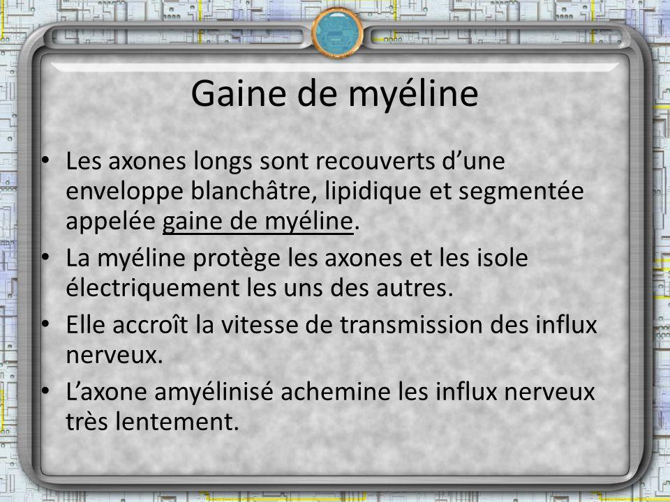 Gaine de myéline Les axones longs sont recouverts d'une enveloppe blanchâtre, lipidique et segmentée appelée gaine de myéline.