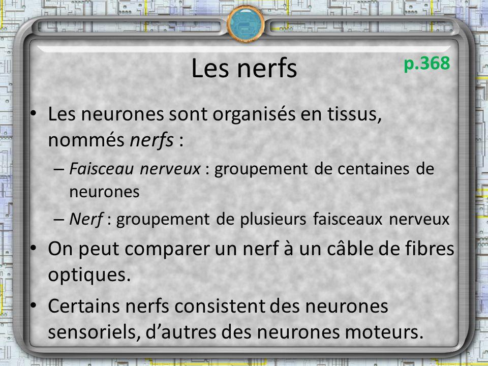 Les nerfs Les neurones sont organisés en tissus, nommés nerfs :