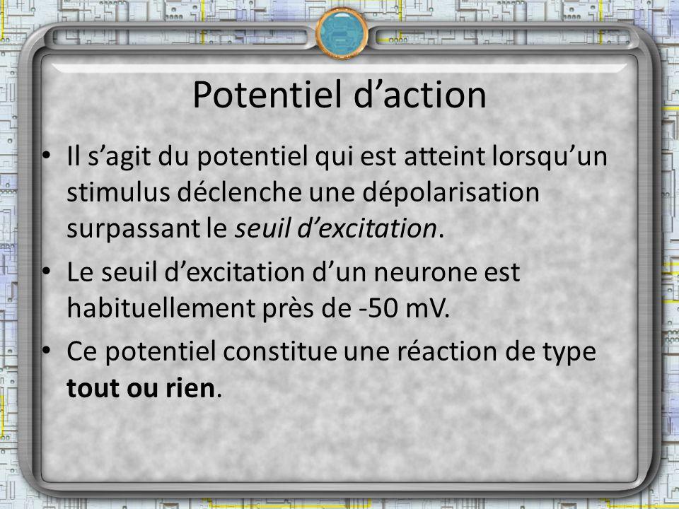 Potentiel d'action Il s'agit du potentiel qui est atteint lorsqu'un stimulus déclenche une dépolarisation surpassant le seuil d'excitation.