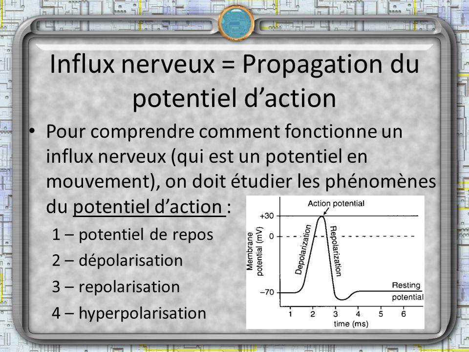 Influx nerveux = Propagation du potentiel d'action