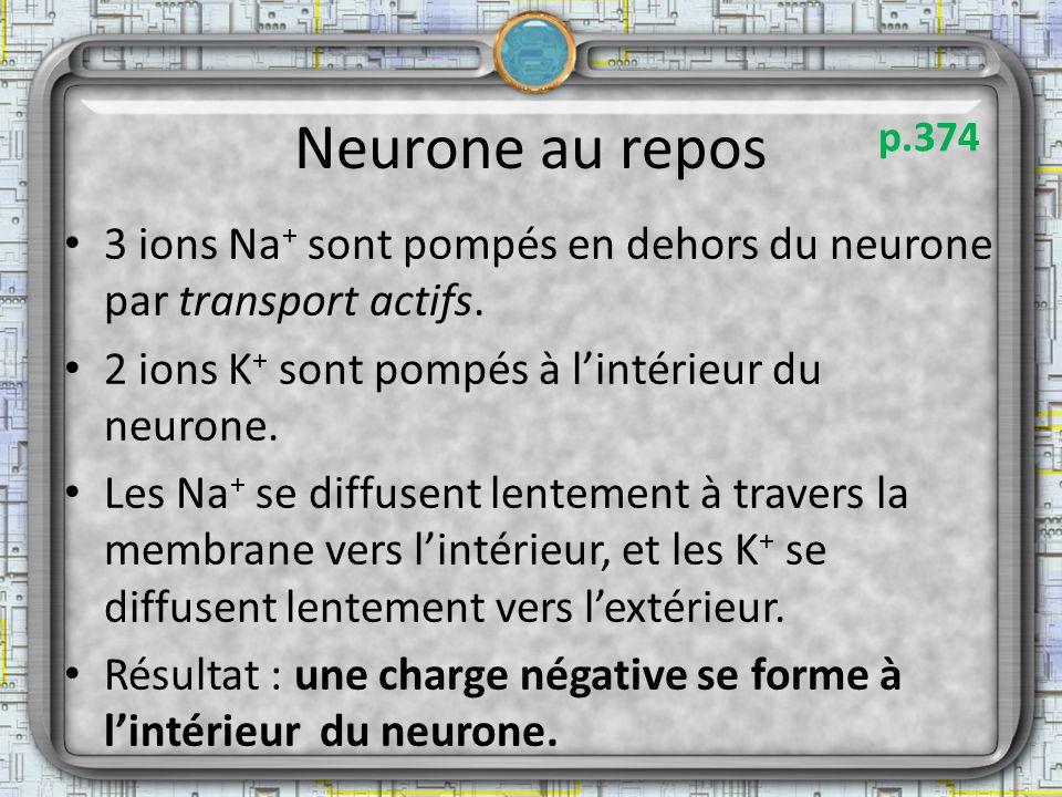 Neurone au repos p.374. 3 ions Na+ sont pompés en dehors du neurone par transport actifs. 2 ions K+ sont pompés à l'intérieur du neurone.