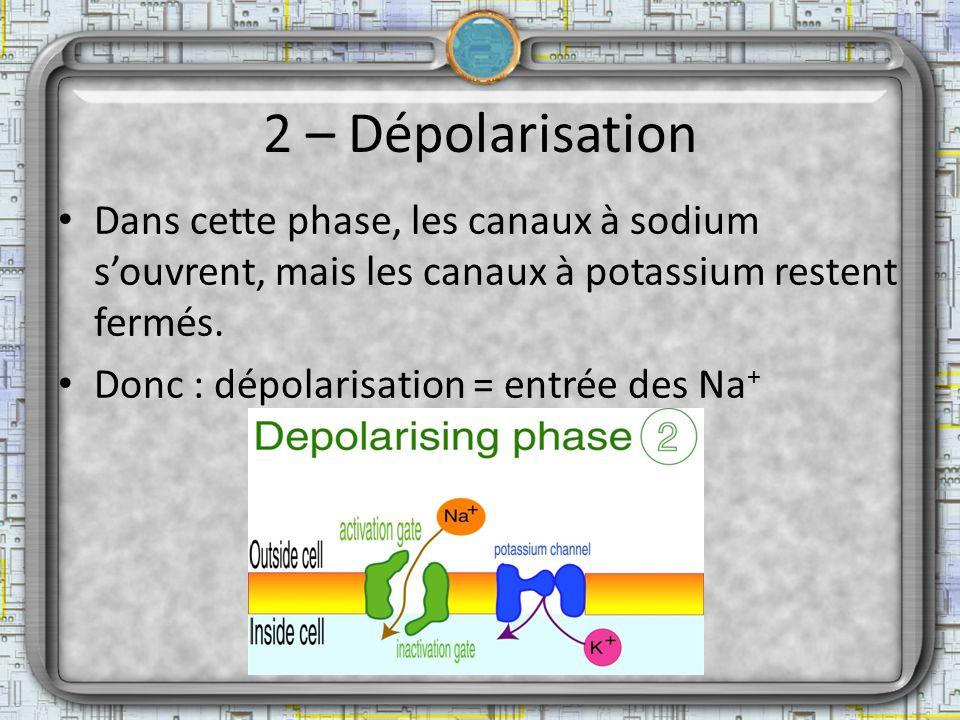 2 – Dépolarisation Dans cette phase, les canaux à sodium s'ouvrent, mais les canaux à potassium restent fermés.