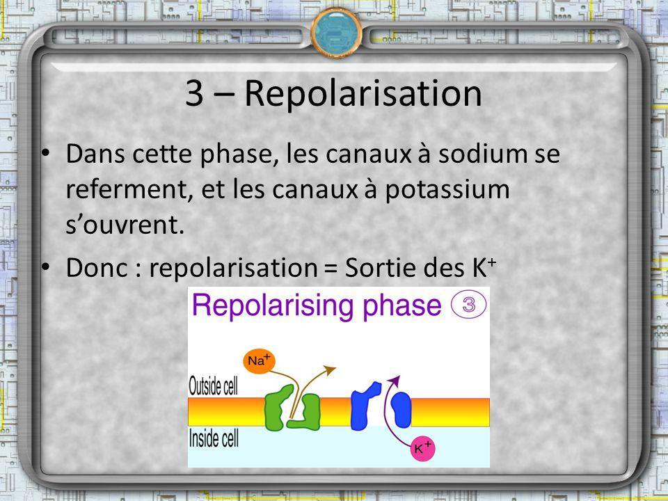 3 – Repolarisation Dans cette phase, les canaux à sodium se referment, et les canaux à potassium s'ouvrent.