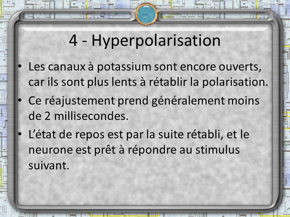 4 - Hyperpolarisation Les canaux à potassium sont encore ouverts, car ils sont plus lents à rétablir la polarisation.