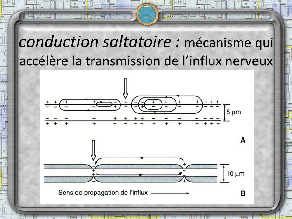 conduction saltatoire : mécanisme qui accélère la transmission de l'influx nerveux