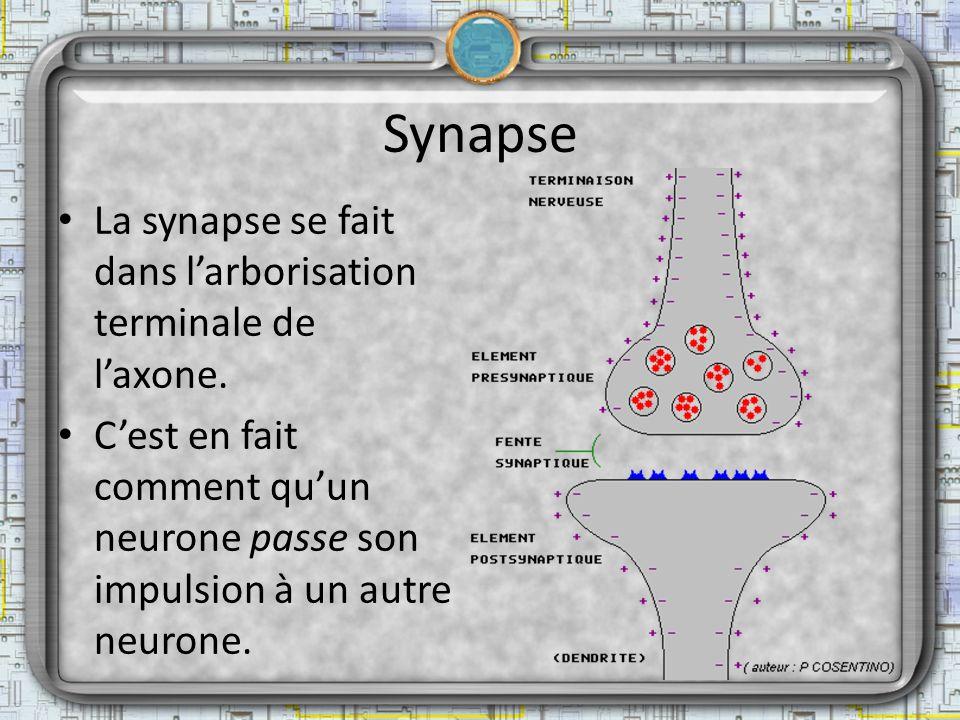 Synapse La synapse se fait dans l'arborisation terminale de l'axone.