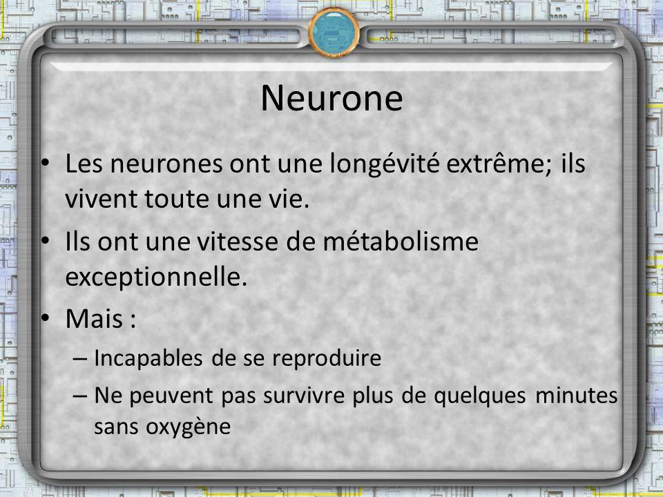 Neurone Les neurones ont une longévité extrême; ils vivent toute une vie. Ils ont une vitesse de métabolisme exceptionnelle.