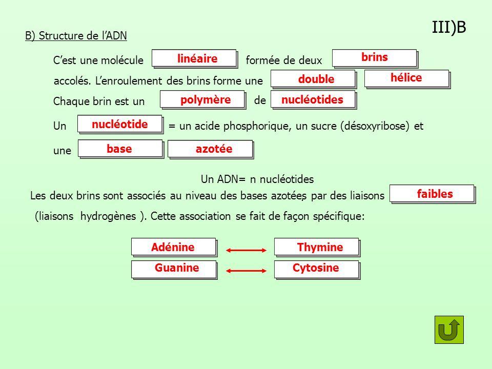 III)B B) Structure de l'ADN linéaire brins C'est une molécule