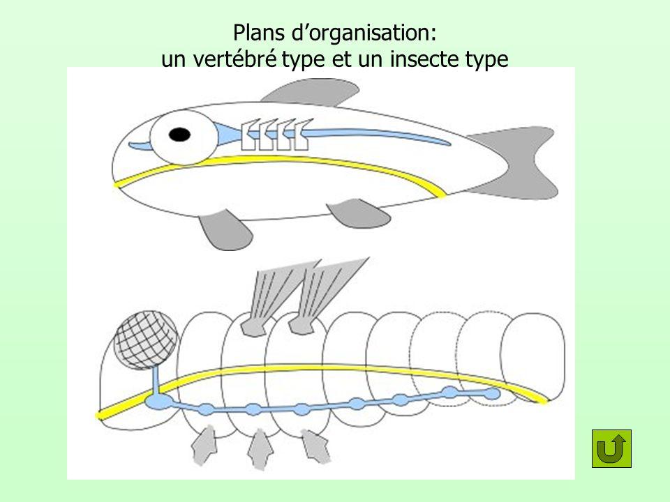 Plans d'organisation: un vertébré type et un insecte type