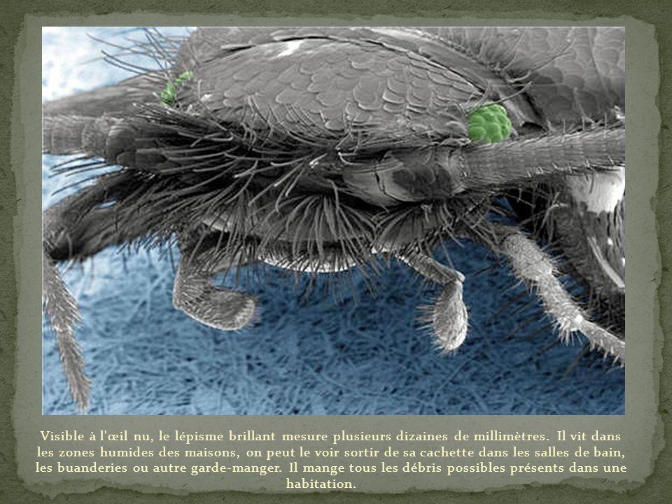 Visible à l œil nu, le lépisme brillant mesure plusieurs dizaines de millimètres.