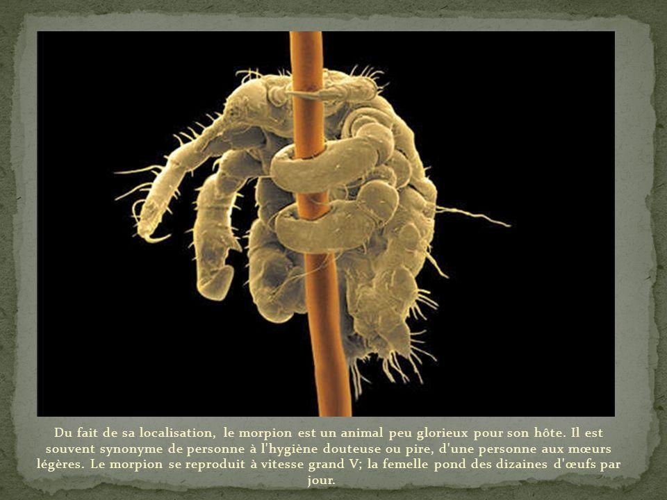 Du fait de sa localisation, le morpion est un animal peu glorieux pour son hôte.