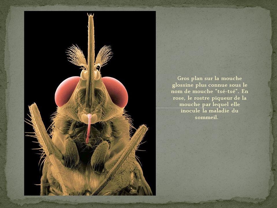 Gros plan sur la mouche glossine plus connue sous le nom de mouche tsé-tsé .