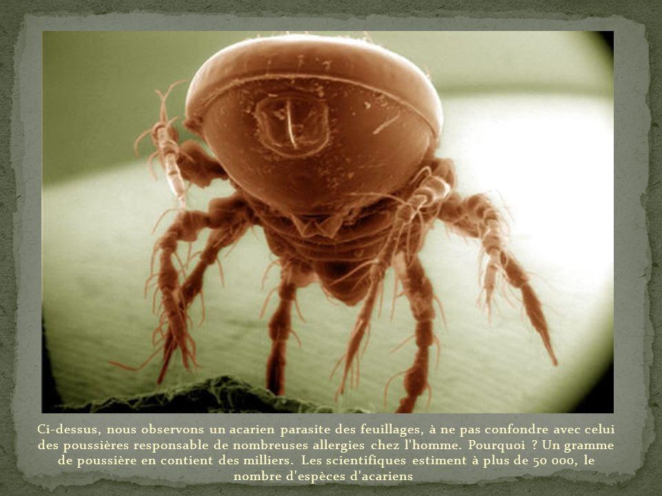 Ci-dessus, nous observons un acarien parasite des feuillages, à ne pas confondre avec celui des poussières responsable de nombreuses allergies chez l homme.