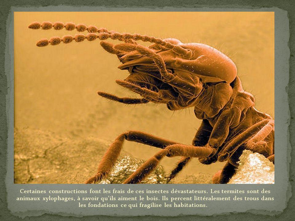 Certaines constructions font les frais de ces insectes dévastateurs