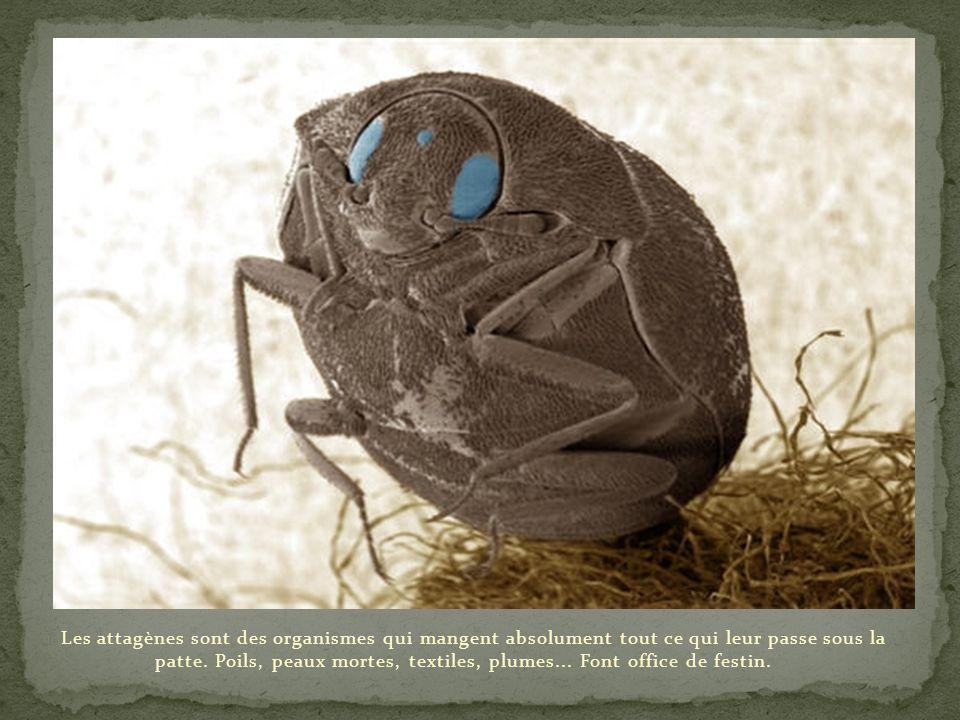 Les attagènes sont des organismes qui mangent absolument tout ce qui leur passe sous la patte.