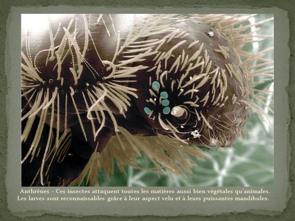 Anthrènes - Ces insectes attaquent toutes les matières aussi bien végétales qu animales.