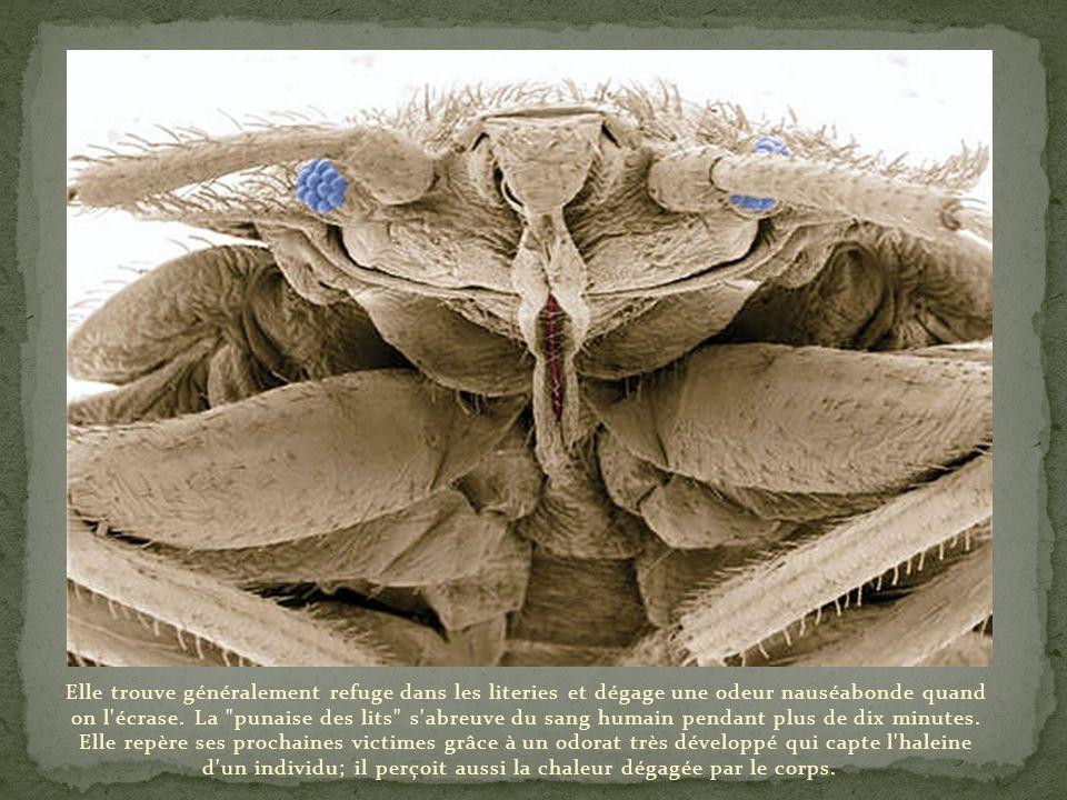 Elle trouve généralement refuge dans les literies et dégage une odeur nauséabonde quand on l écrase.
