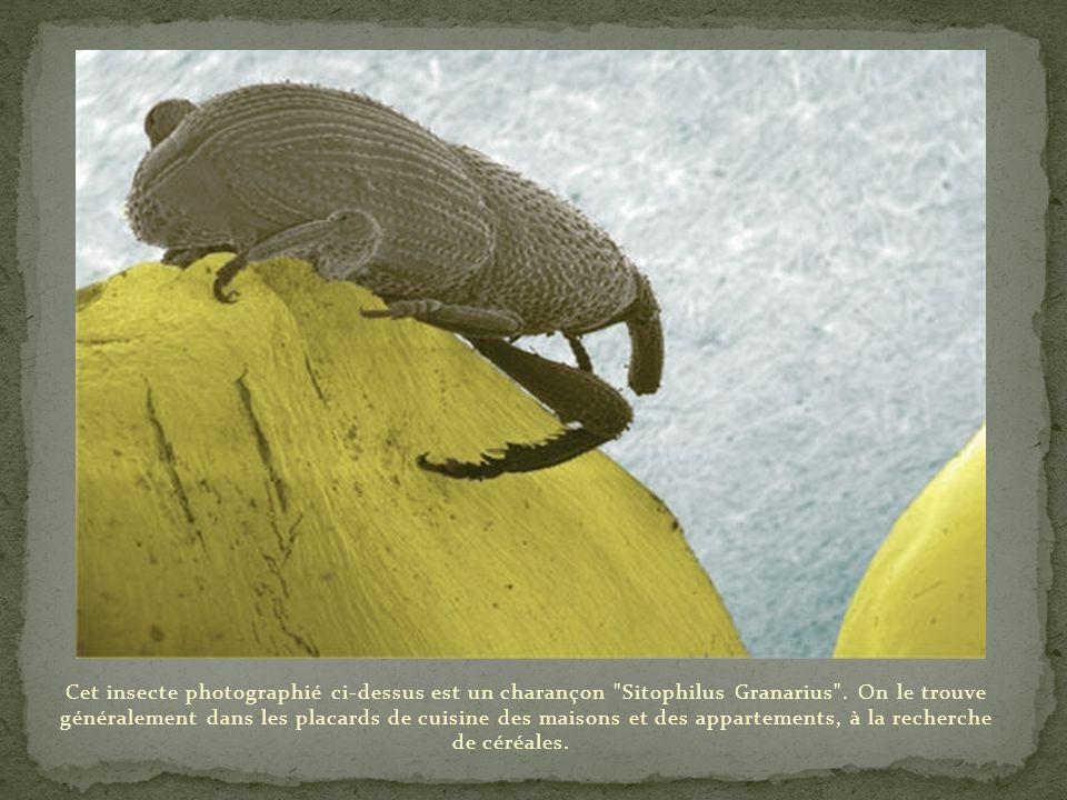 Cet insecte photographié ci-dessus est un charançon Sitophilus Granarius .