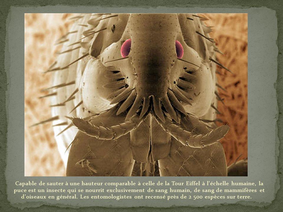 Capable de sauter à une hauteur comparable à celle de la Tour Eiffel à l échelle humaine, la puce est un insecte qui se nourrit exclusivement de sang humain, de sang de mammifères et d oiseaux en général.