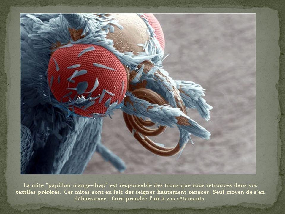 La mite papillon mange-drap est responsable des trous que vous retrouvez dans vos textiles préférés.