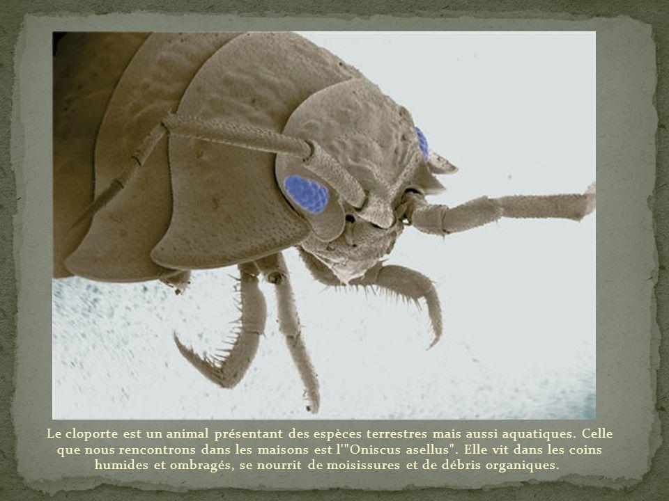 Le cloporte est un animal présentant des espèces terrestres mais aussi aquatiques.