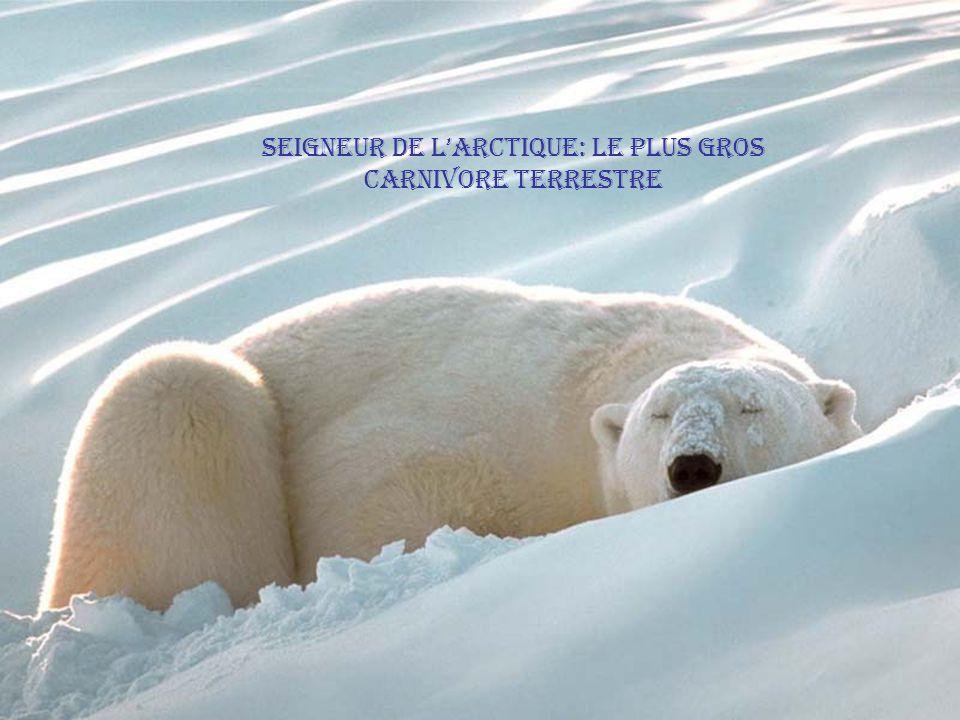 seigneur de l'arctique: le plus gros carnivore terrestre