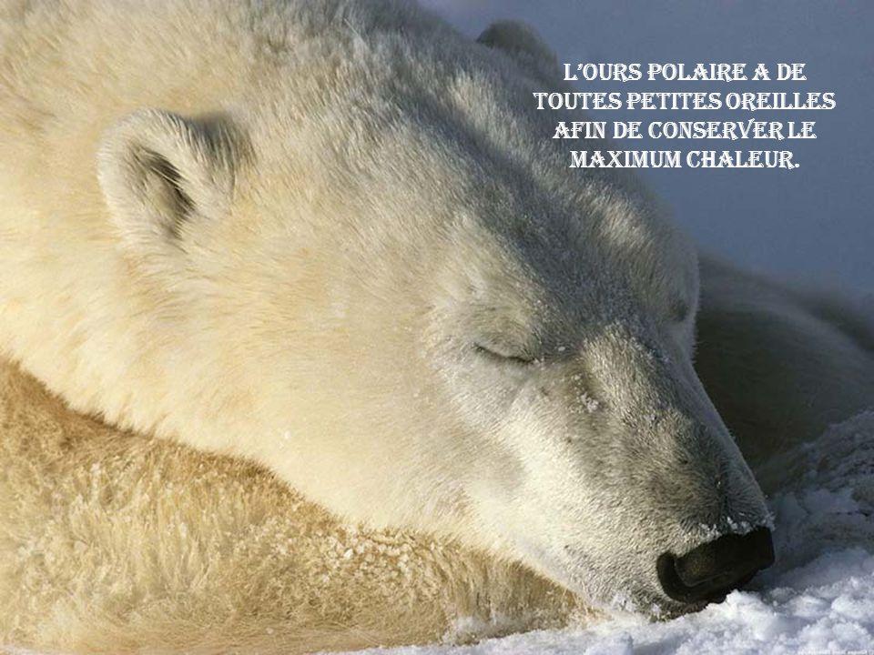 L'ours polaire a de toutes petites oreilles afin de conserver le maximum chaleur.