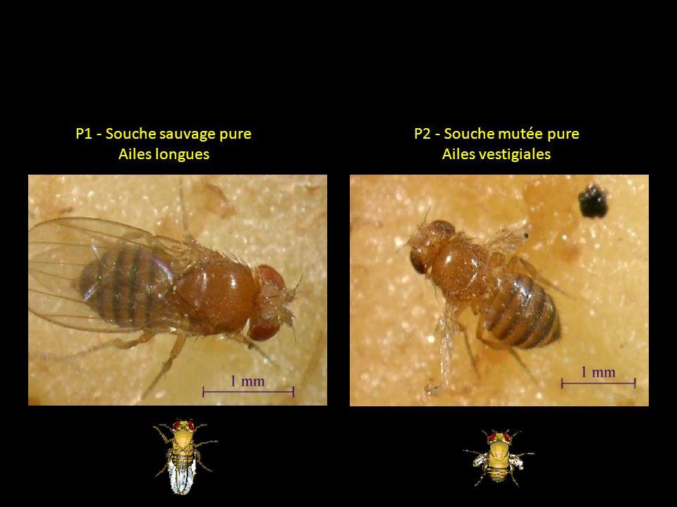 P1 - Souche sauvage pure Ailes longues P2 - Souche mutée pure Ailes vestigiales