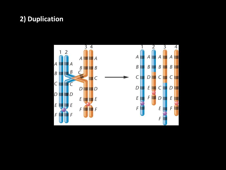 2) Duplication