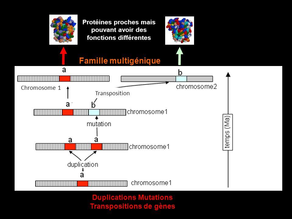 Famille multigénique Duplications Mutations Transpositions de gènes
