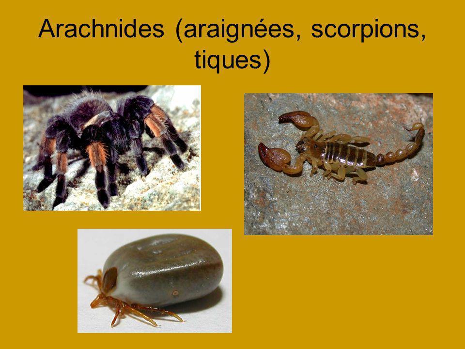 Arachnides (araignées, scorpions, tiques)