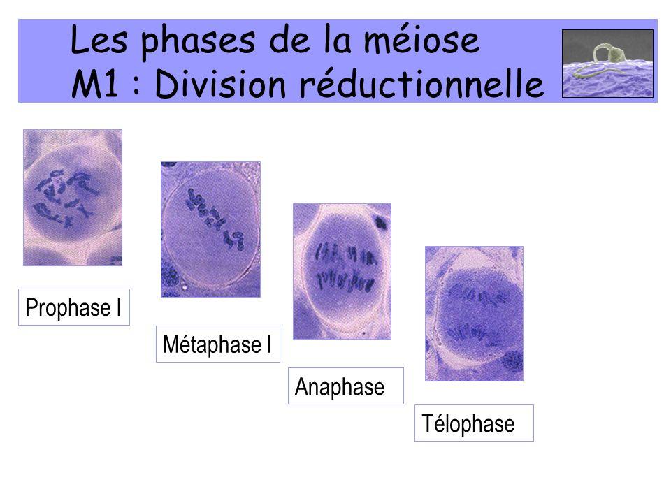 Les phases de la méiose M1 : Division réductionnelle
