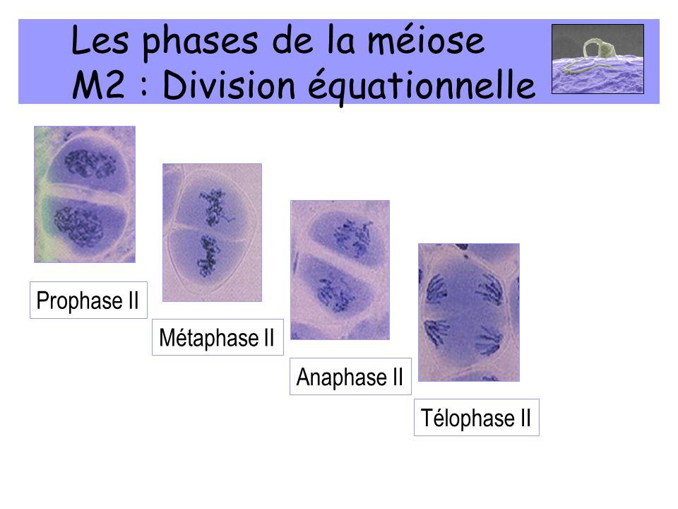 Les phases de la méiose M2 : Division équationnelle