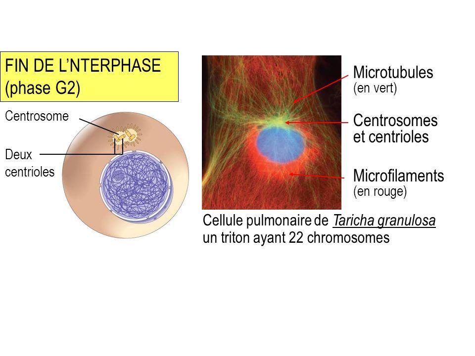 FIN DE L'NTERPHASE (phase G2)
