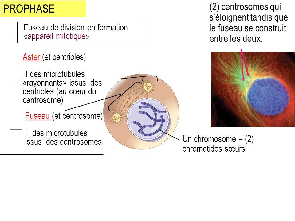 PROPHASE (2) centrosomes qui s'éloignent tandis que le fuseau se construit entre les deux. Fuseau de division en formation «appareil mitotique»