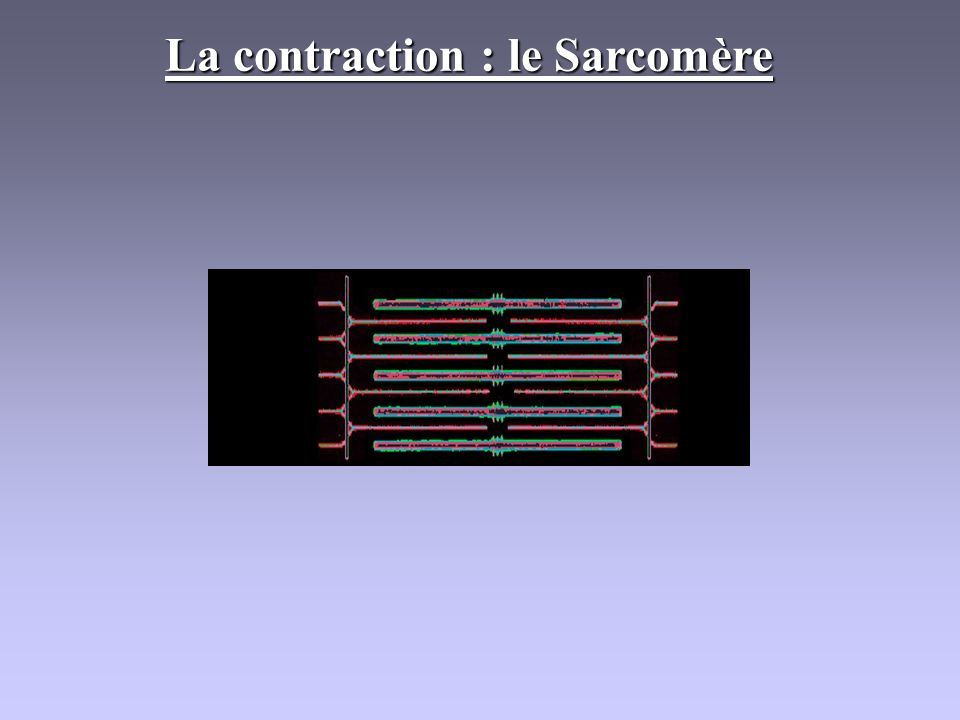 La contraction : le Sarcomère