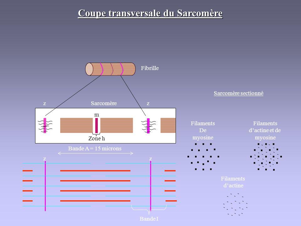 Coupe transversale du Sarcomère