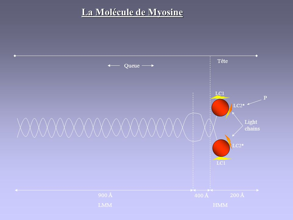 La Molécule de Myosine Tête Queue Light chains P 900 Å 400 Å 200 Å LMM