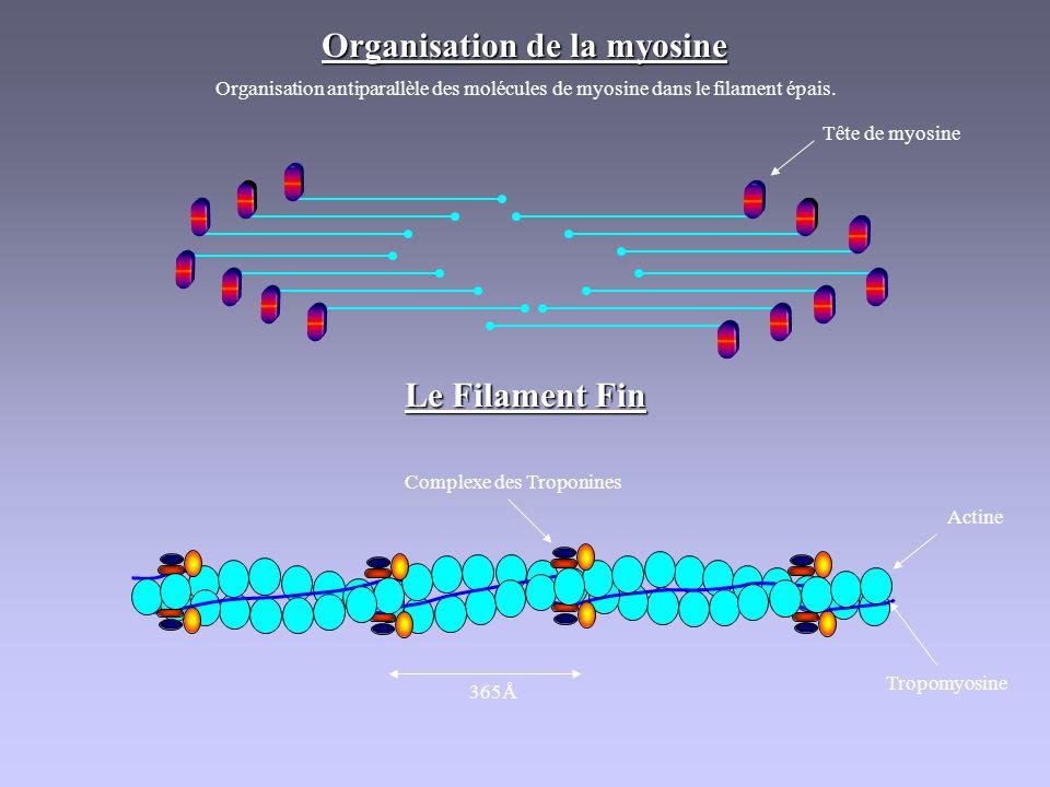 Organisation de la myosine