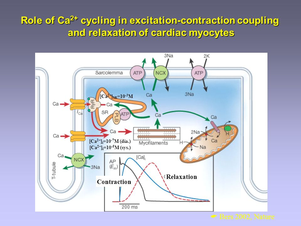 Role of Ca2+ cycling in excitation-contraction coupling