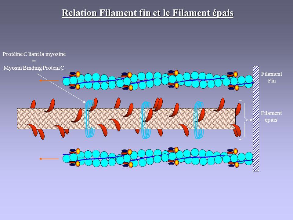 Relation Filament fin et le Filament épais