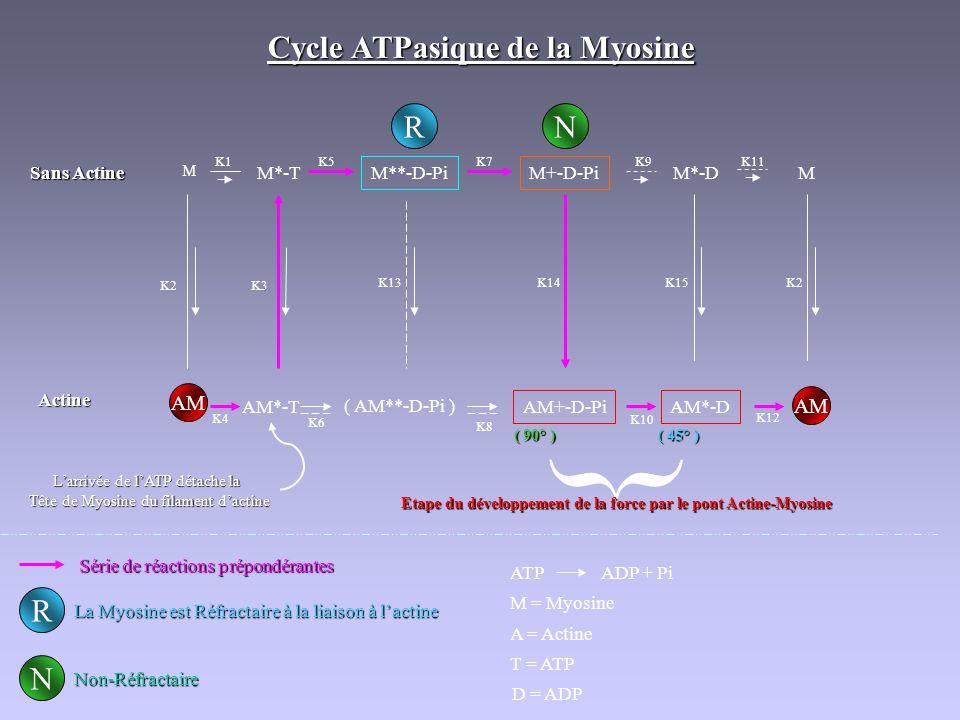 { Cycle ATPasique de la Myosine R N R N AM AM Sans Actine M*-T
