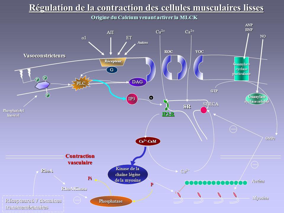Régulation de la contraction des cellules musculaires lisses