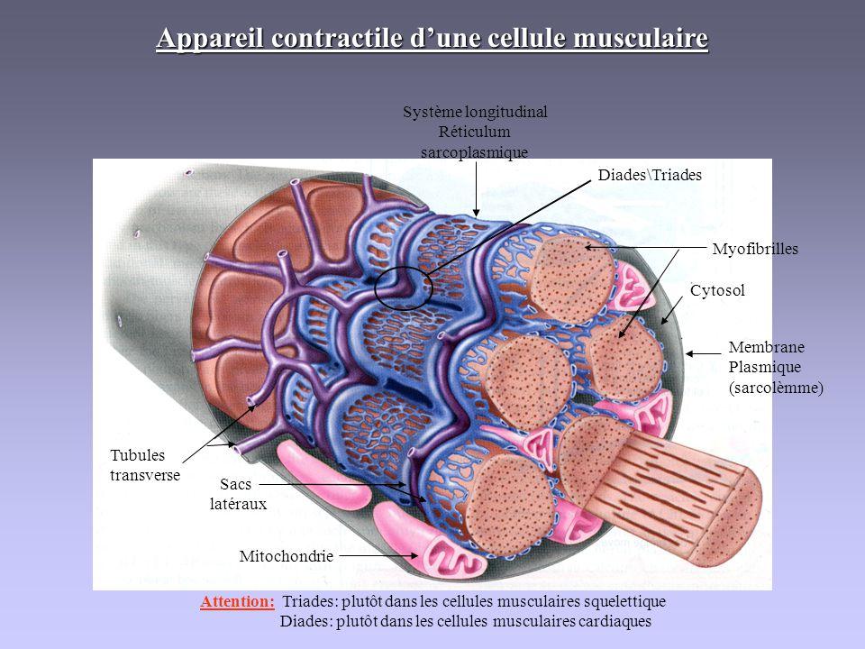 Appareil contractile d'une cellule musculaire