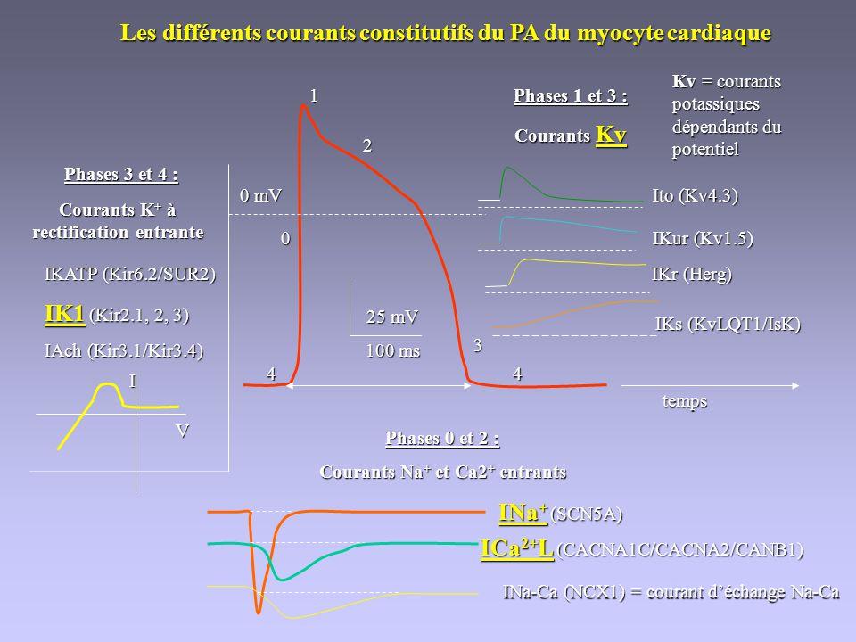 Les différents courants constitutifs du PA du myocyte cardiaque